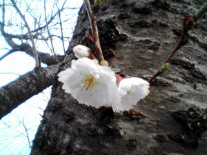 cherry_blossoms_20040321.jpg