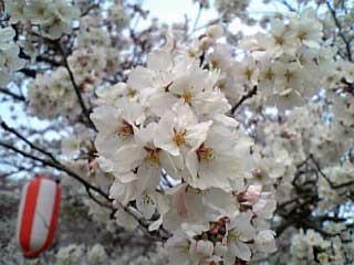 Sakura In Satsukiyama1 2006