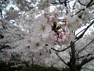 Sakura In Satsukiyama4 2006