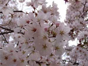 Sakura Of Satsukiyama2005 2