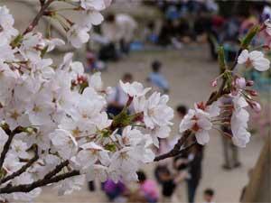 Sakura Of Satsukiyama2005 4