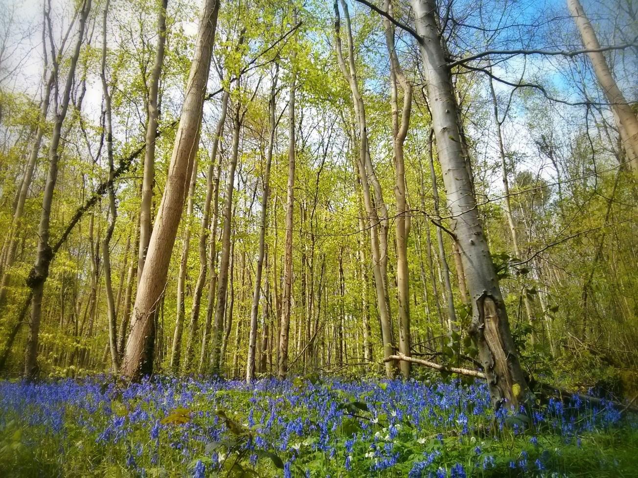 Fforest Fawr Bluebells