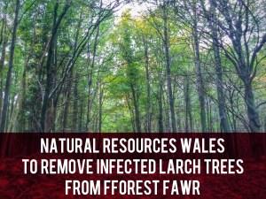 Fforest Fawr larch disease