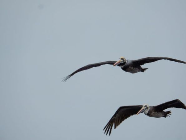 Pelikane im (An-)Flug