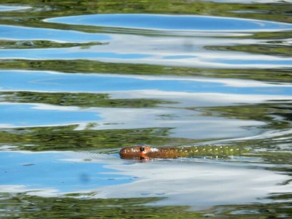 Rotkopf Leguan: Das Wasser ist tiefschwarz, der Rest sind Spiegelungen.