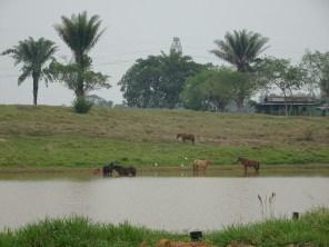 Von Rio Branco nach Gaujara-Mirim. Riesige Farmen entlang der gesamten Straße.