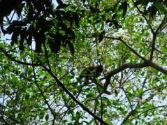 Die Affen sind urschnell unterwegs, schwer zu fotographieren.