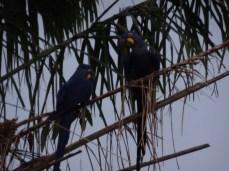 https://de.m.wikipedia.org/wiki/Hyazinth-Ara Die Palmen sind voll mit großen blauen Papageien