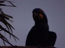 Der Arara Azul kommt leider erst bei Sonnenuntergang zur Pousada Arara Azul