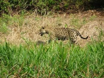 Einfach nur Glück! Super Wetter, bestes Licht, wunderschöner Jaguar auf seinem Streifzug begleitet.
