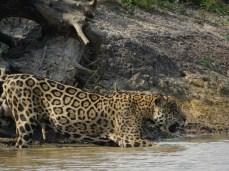 Jaguare sind außerordentlich gute Schwimmer