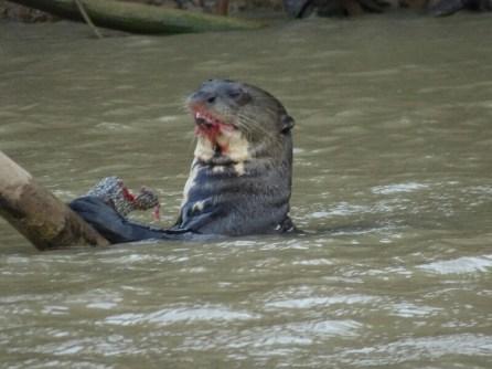 Unzählige Ottern im Rio Cuiaba