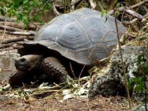 Riesenschildkröten auf Floreana - leider zooartig