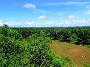 Palmölplantagen am Rande des Darien Gaps