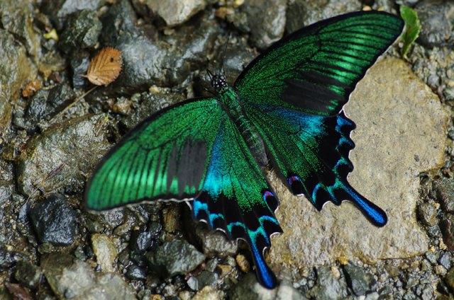 butterfly Black Swallowtail