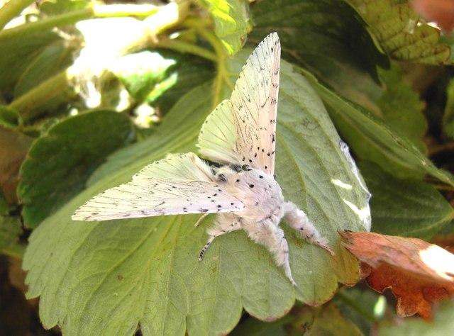 butterfly Cerura Vinula