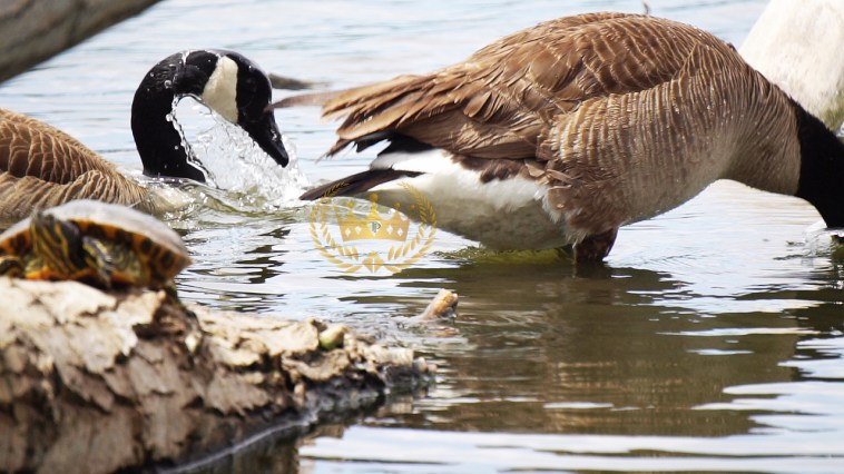 Canadian Goose Splashing Water - Wildlife and Nature Photography by Toni Payne