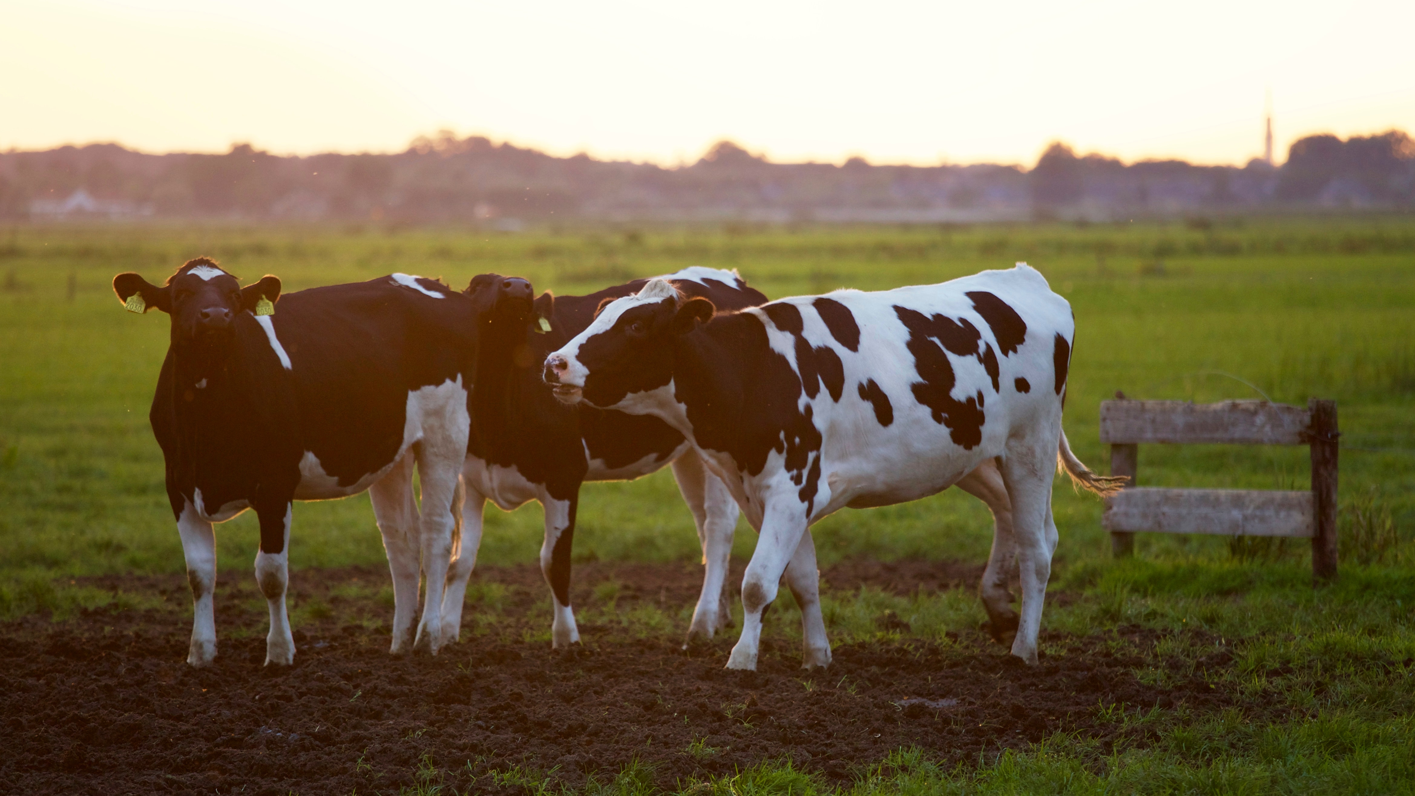 Three cows in a pasture.