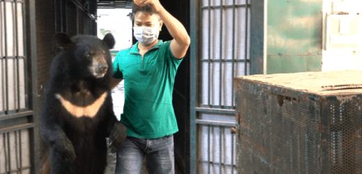 Tổ chức động vật Châu Á cứu hộ bốn cá thê gấu từ rạp xiếc trung ương Hà Nội