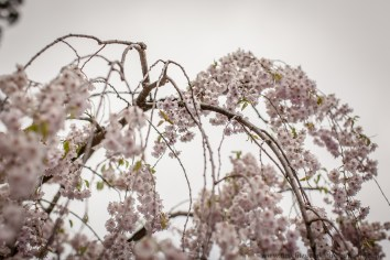 Cherry blossoms-5