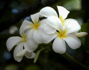 Maui flowers (1 of 3)