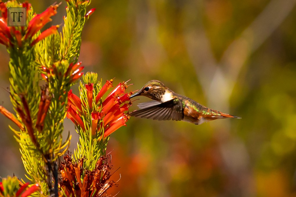 hummingbird collecting nectar from a red flower