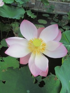 A lotus flower on the way to the Wantilan at Melati Cottages, where we have daily warmups and classes in kecak and topeng