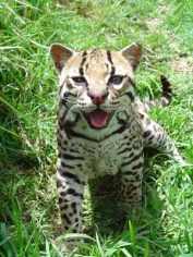 This is Tame. She's an Ocelot, and my personal favourite of the six-strong pack we were looking after. She was far too friendly to survive in the jungle, which was a little sad for her, but meant we got to say hello from time to time. She was always pretty happy to see us!