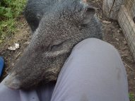 The wild boar - doing what he loved to do most!