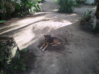 Pedo the Hero Dog