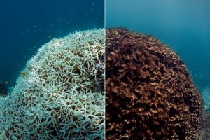 Example of Coral Bleaching. Photo credit: The Ocean Agency