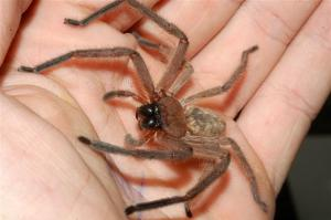 Huntsman Spider in Hand