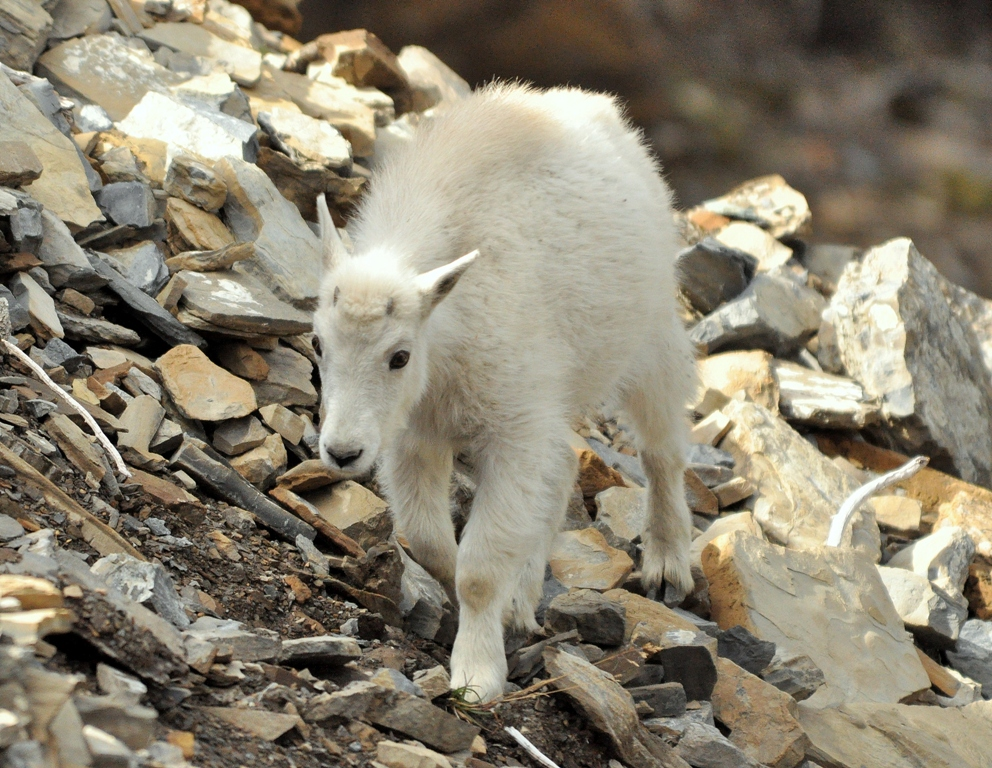 https://i0.wp.com/tonythomasphotography.com/photos/2011/09/5a-Mountain-Goat-Kid.jpg