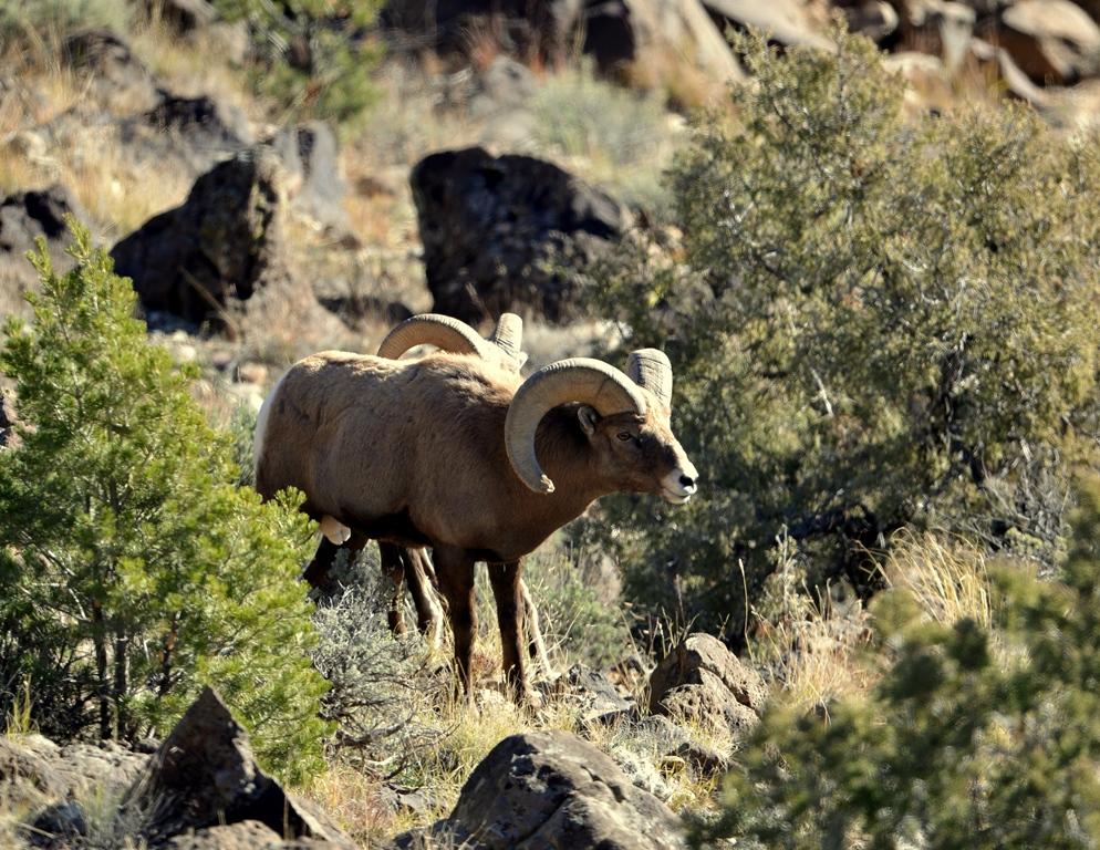 Sheep Barbary Mexico New