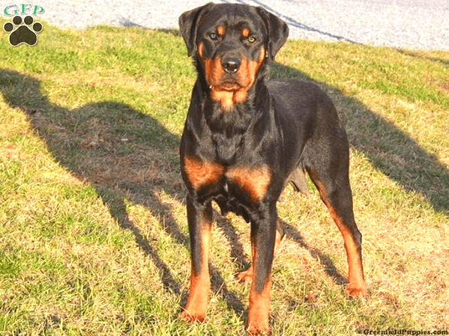 Great Dane mix with Rottweiler
