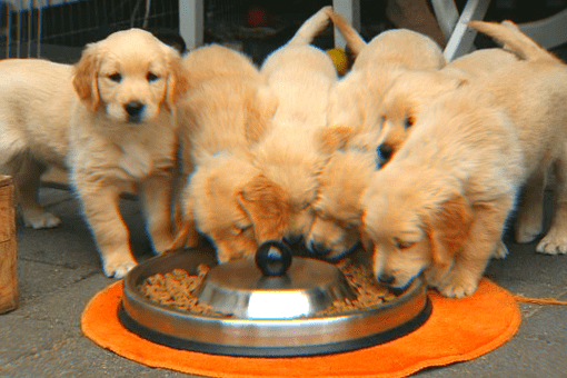 golden retriever eating food