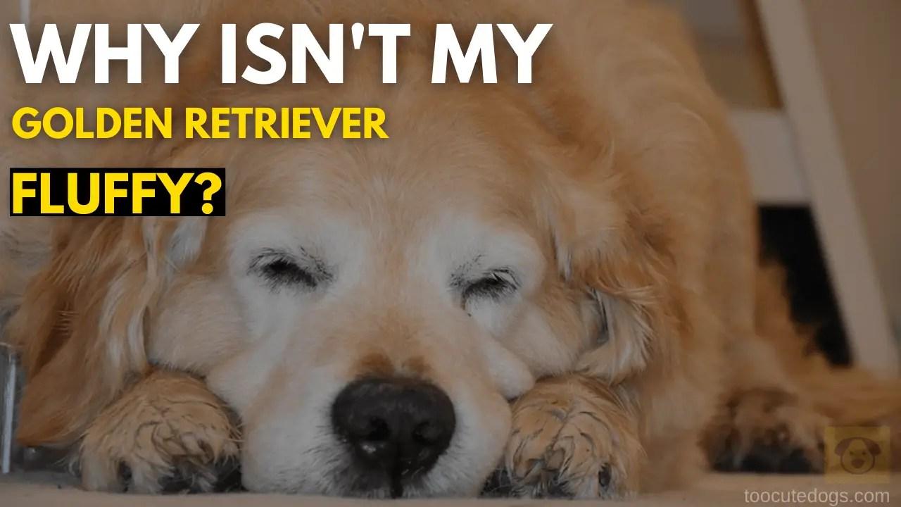 Why Isn't My Golden Retriever Fluffy