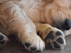 golden retriever puppy paws