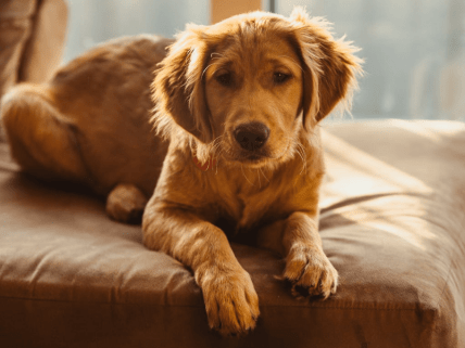 golden retriever puppy sitting on couch