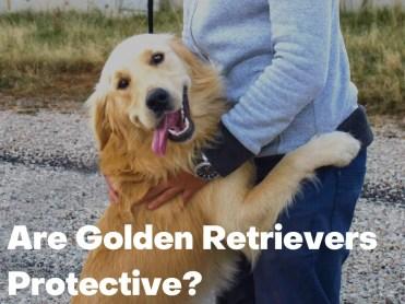 Are Golden Retrievers Protective