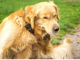 Golden Retriever Scratching