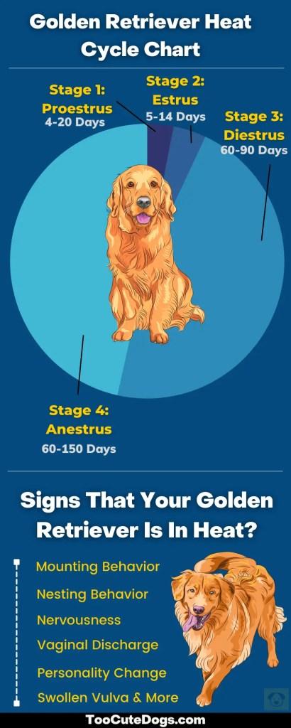 golden retriever heat cycle chart
