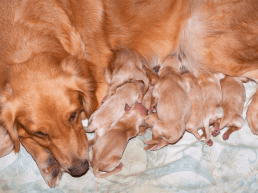 new born golden retriever puppies