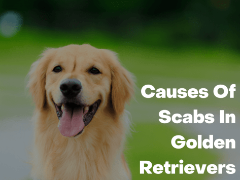 Causes Of Scabs In Golden Retrievers