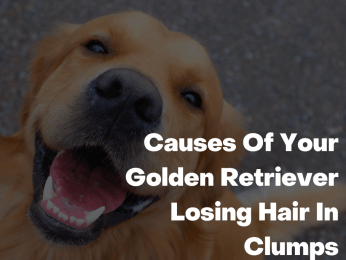 Causes Of Your Golden Retriever Losing Hair In Clumps