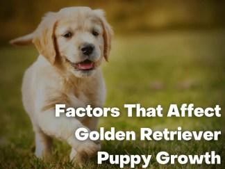 Factors That Affect Golden Retriever Puppy Growth