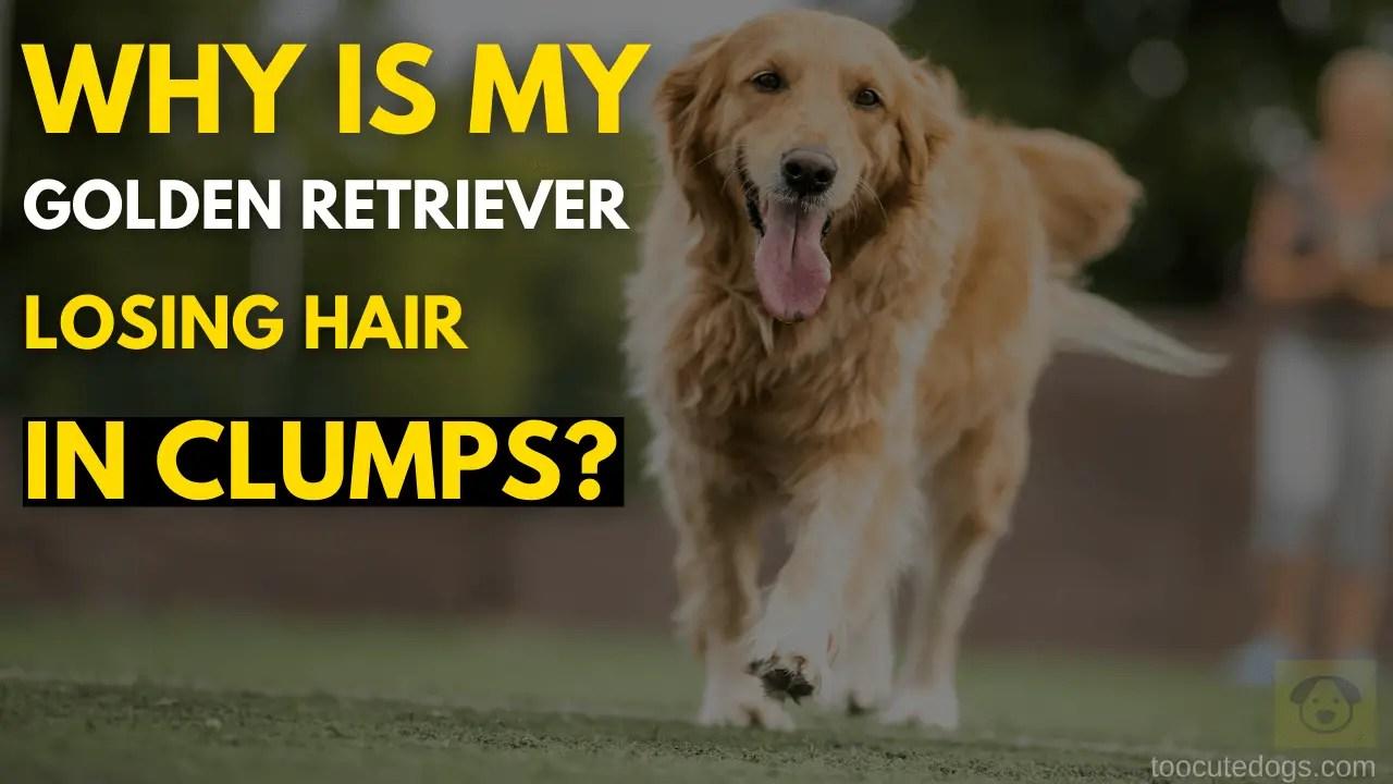 Golden Retriever Losing Hair in Clumps