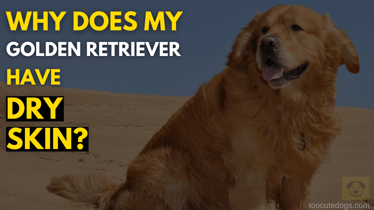 Why Does My Golden Retriever Have Dry Skin