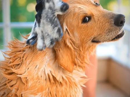 golden retriever bathing