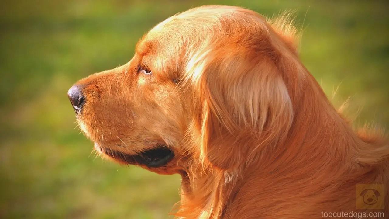 Golden Retriever Ear Shape